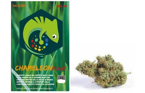 chamaleon-plant-bronze